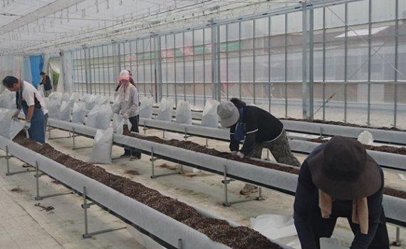 しあわせファーム トマト植え替え