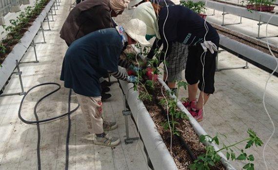 しあわせファーム トマト栽培 定植