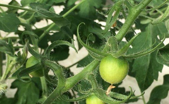 しあわせファーム トマト栽培 シンディ