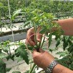 しあわせファーム トマト栽培
