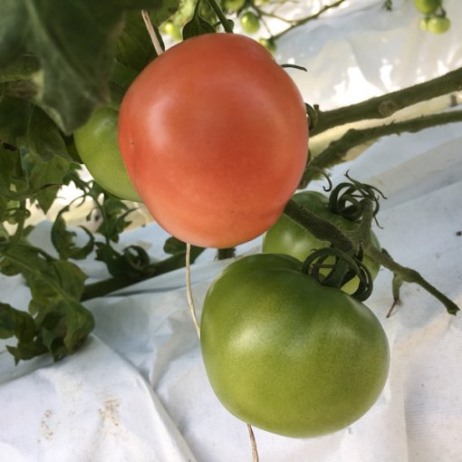 しあわせファーム トマト栽培 りんか